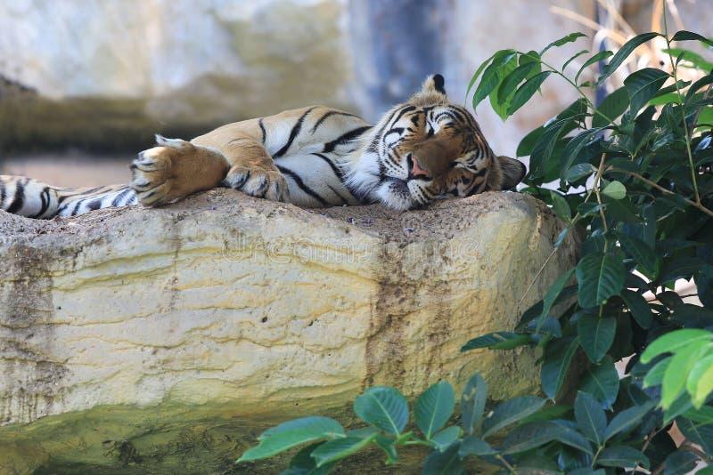 Sova tigern arkivfoton