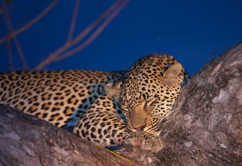 sova tree för leopard royaltyfri fotografi