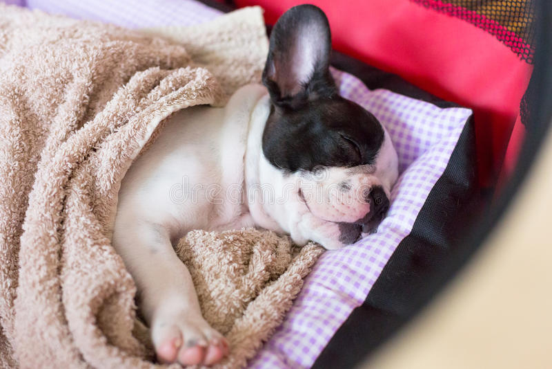 Sova valpen för fransk bulldogg arkivfoto