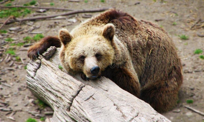 sova white för bakgrundsbjörn royaltyfri bild