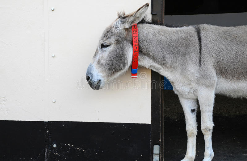 Download Sovereign Rose the Donkey stock photo. Image of animal - 29422152