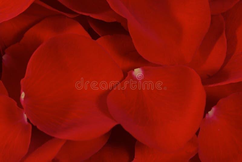 Sovrapposizione dei petali di Rosa fotografia stock libera da diritti