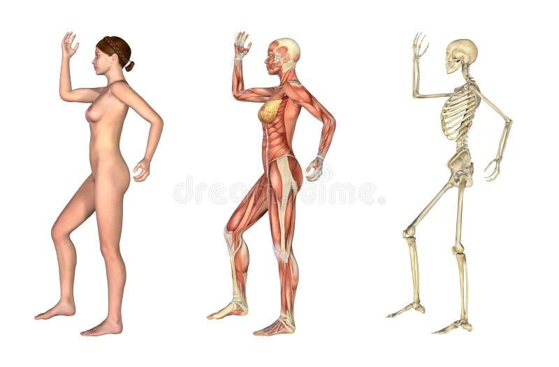 Sovrapposizioni anatomiche - femmina con il braccio ed il piedino piegati illustrazione vettoriale