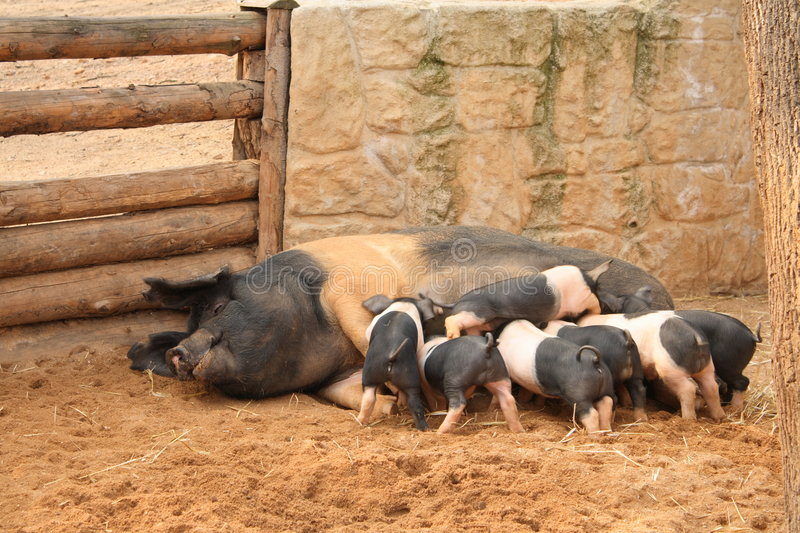 Sow with piglets royalty free stock photography