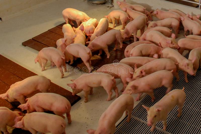 Sow and Piglets in modern domestic housing farm royalty free stock images