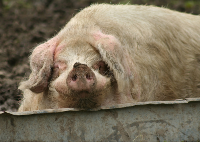 Sow Wallowing royalty free stock photo