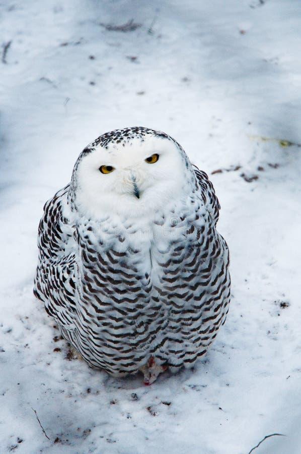 sowa śnieg zdjęcia stock
