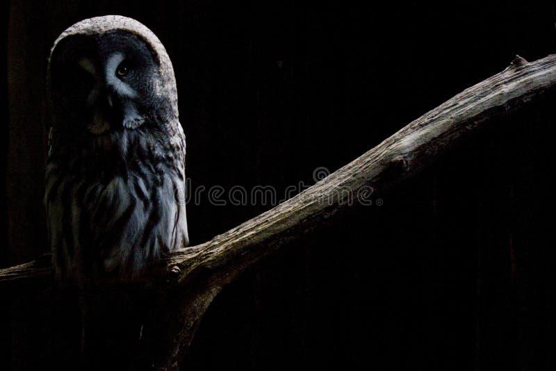 Download Sowa zdjęcie stock. Obraz złożonej z ponury, ptak, gapienie - 11354170