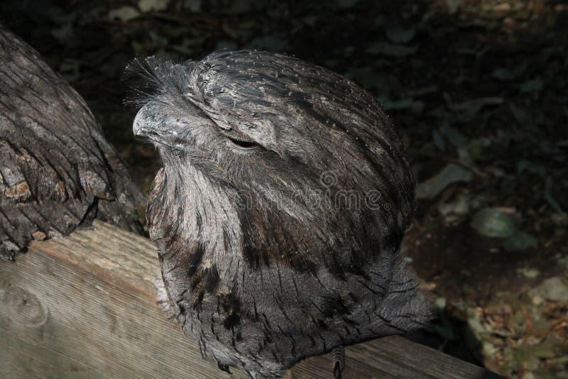 Download Sowa obraz stock. Obraz złożonej z ptak, sowa, cy, przyroda - 33070165