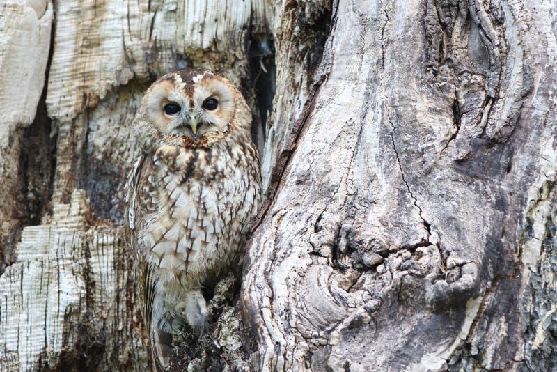 Sowa, drzewo, fauna, ptak zdobycz fotografia stock
