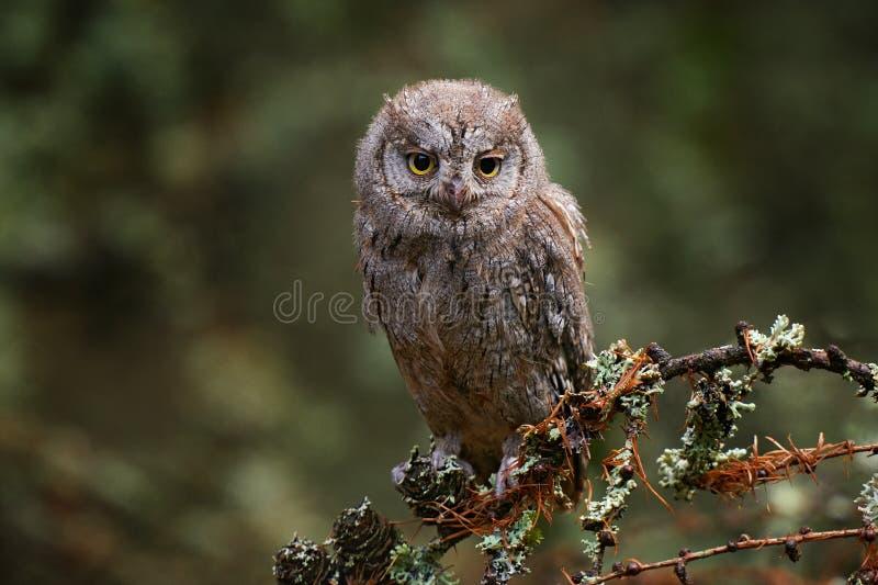 Sowa Grzechów, Skopki Otus, siedzące na gałęzi drzewa w ciemnym lesie Zwierzęta dzikie z natury Mały ptaszek, zbliżenie sowy obrazy stock