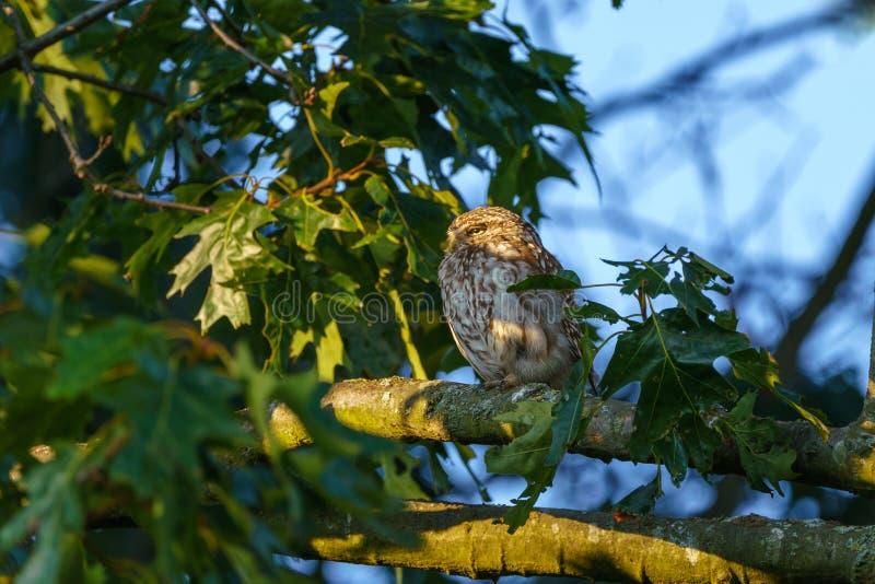 Sowa mała (Athene noctua) zagrabiony na oddziale późnym wieczorem, w Wielkiej Brytanii obrazy stock