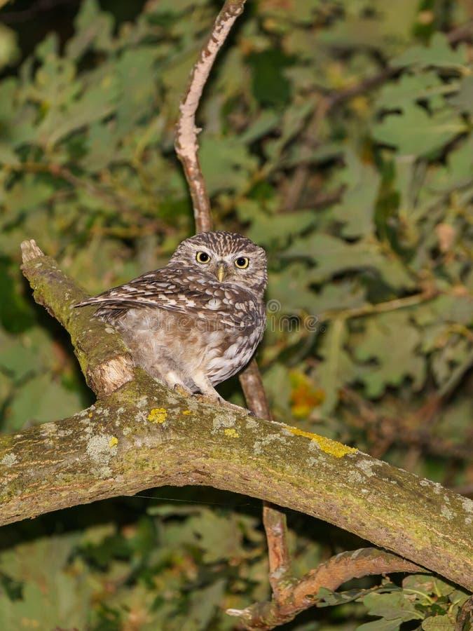 Sowa mała (Athene noctua) zagrabiony na oddziale późnym wieczorem, w Wielkiej Brytanii zdjęcia royalty free