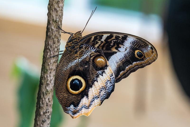Sowa motyl, caligo eurilochus pi?kny motyl zdjęcie stock