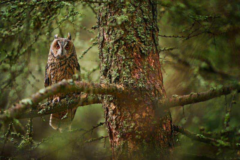 Sowa w siedlisku leśnym Sowa długowieczna siedząca na gałęzi w upadłym lesie modrzewiastym jesienią Piękne drzewo liczeniowe zdjęcie royalty free