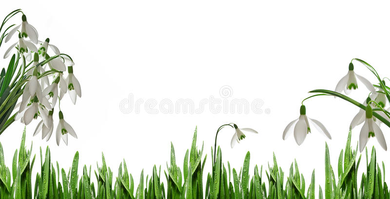 Sowdrops. A bunch of sowdrops and grass vector illustration