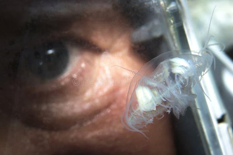 Sowerbii de agua dulce de Craspedacusta de las medusas, fotografía subacuática foto de archivo