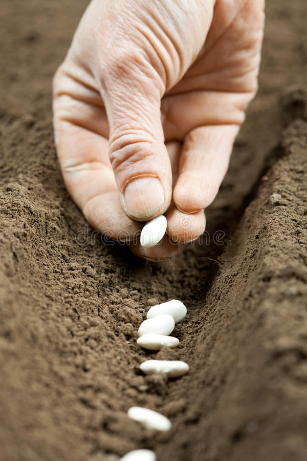 Sowing bean seeds. Sowing white bean seeds in spring stock photography