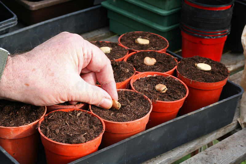 Sowing broad beans. Sowing broad bean seeds in pots in the spring in a glasshouse. Growing your own vegetables stock photo
