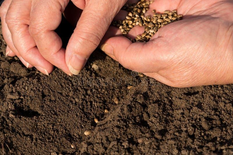 Sowing hemp seeds. Woman sowing hemp seeds in brown soil stock images