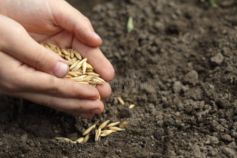 Sowing oats. Child hand sowing oats in ground stock photo