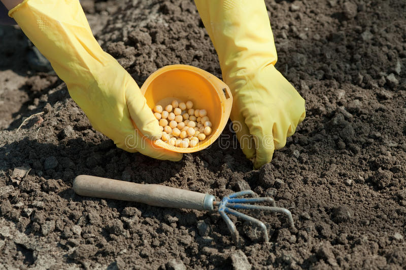 Sowing pea in soil. Closeup of sowing pea in soil stock photo