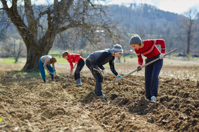 Sowing potatoes. People sowing potato tubers into the plowed soil stock photo