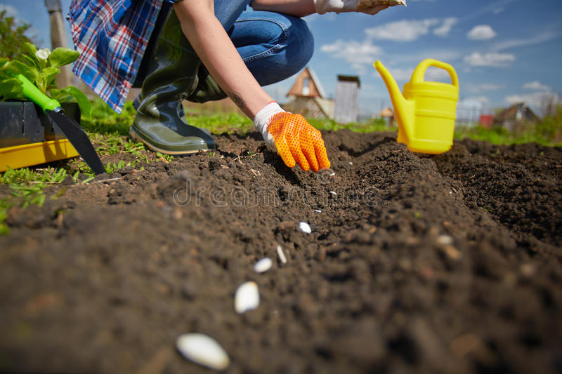 Sowing in row. Image of female farmer sowing seed of squash in the garden stock images
