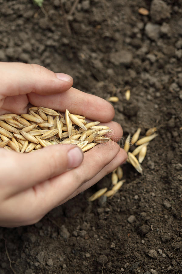 Sowing seed. Children hand sowing seed in dirt stock images