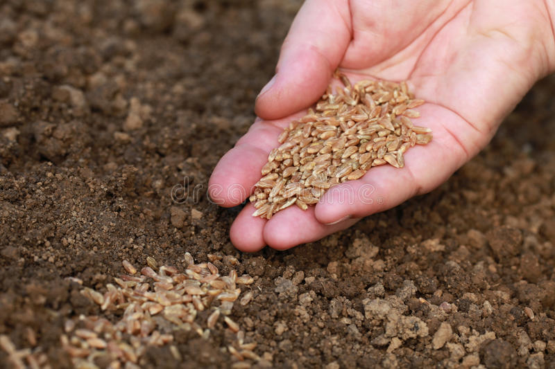 Sowing seeds in a garden royalty free stock photography