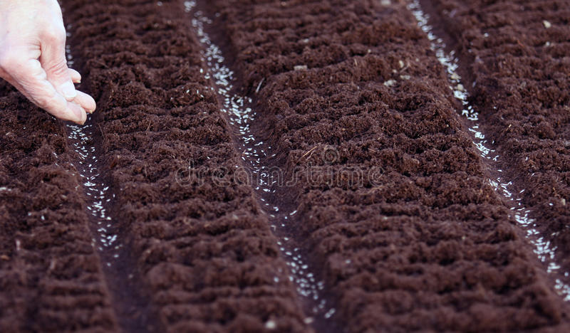 Sowing seeds. Sowing the prepared vegetable salads strand in the spring time. Seeds of lettuce sifted shallow in nature and crop later on the shaft diluted royalty free stock photography