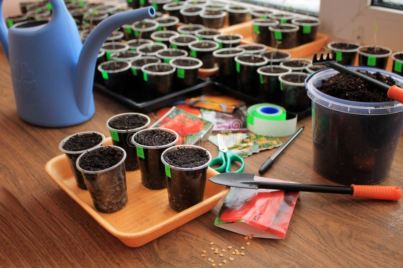 Sowing seeds of tomato and pepper for seedling with use garden tools. Closeup. royalty free stock photography