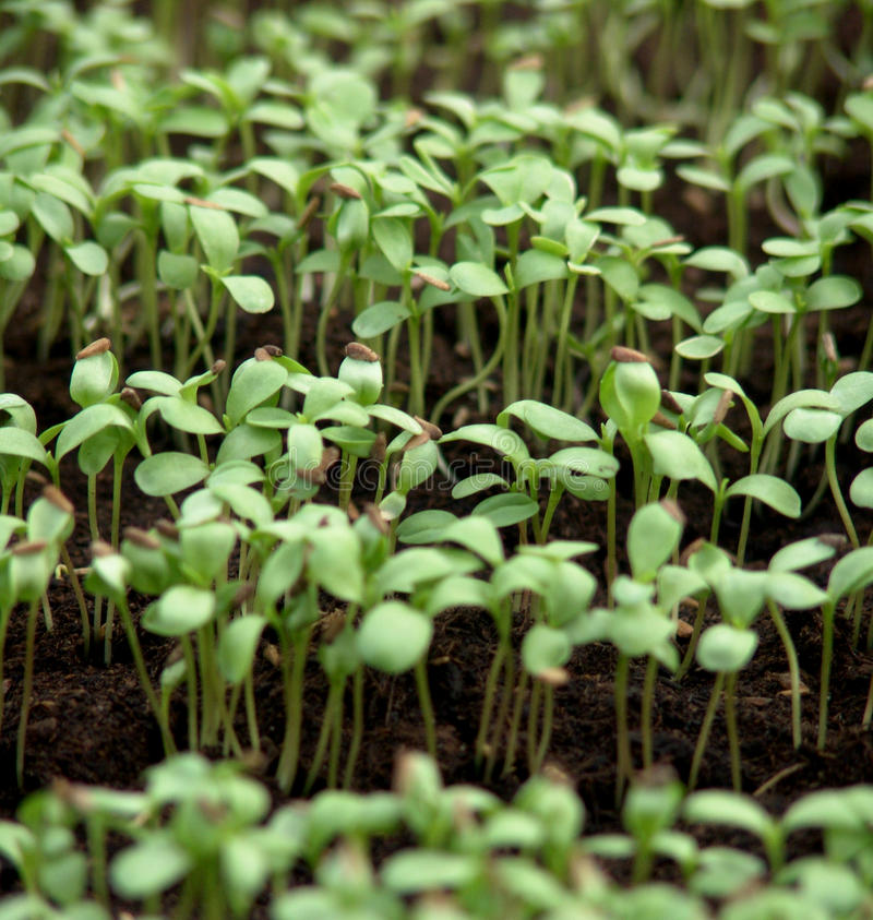 Sowing time - young vegetable germ. Young vegetable germ with seed ready for transplant. The germ of early vegetables symbolize sowing time royalty free stock images