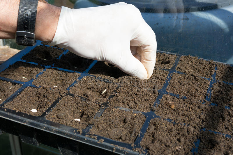 Sowing Vegetable Seeds. Gardener sowing vegetable seeds into a tray royalty free stock images