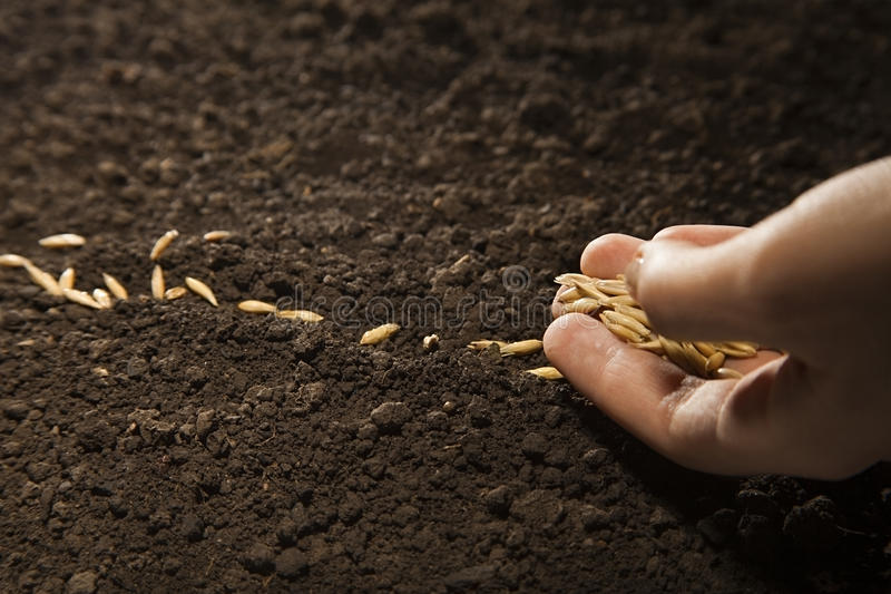 Sowing weat. Woman hand sowing weat seed royalty free stock photos
