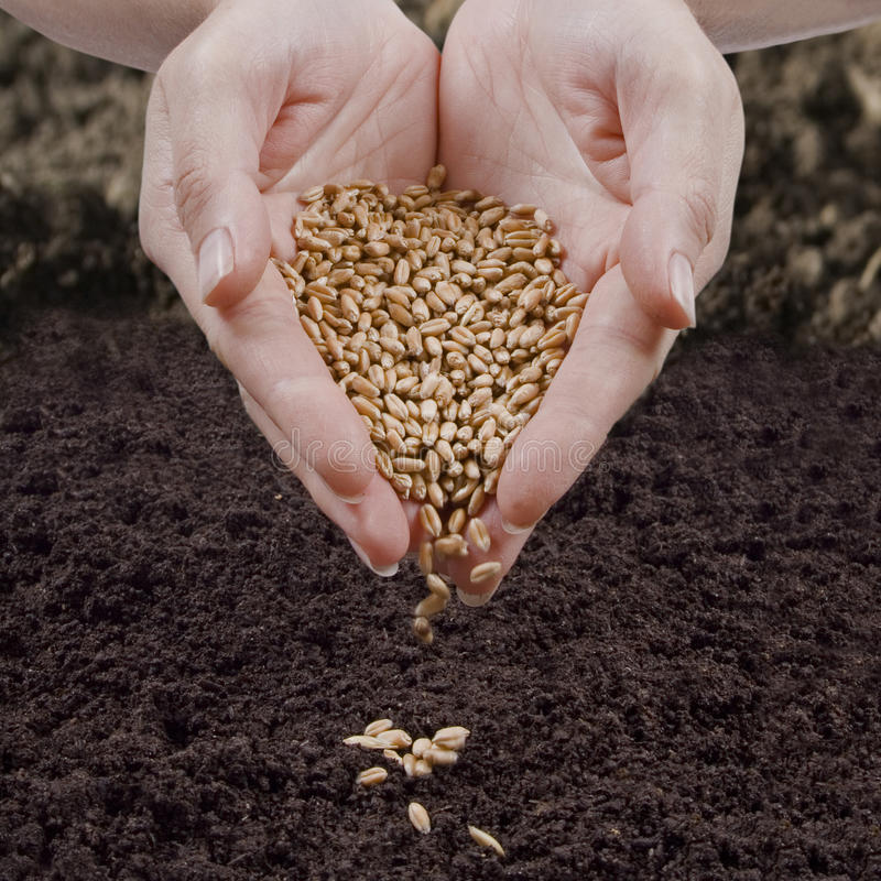 Sowing wheat. In fresh ground royalty free stock photos
