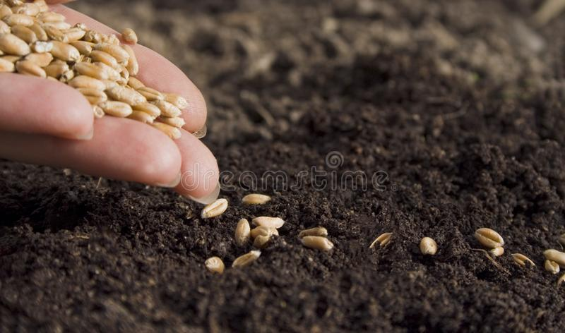 Sowing wheat by hand in home garden.  royalty free stock photography