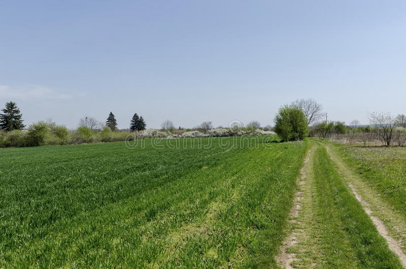 Sown wheat field and blossom trees in spring stock image