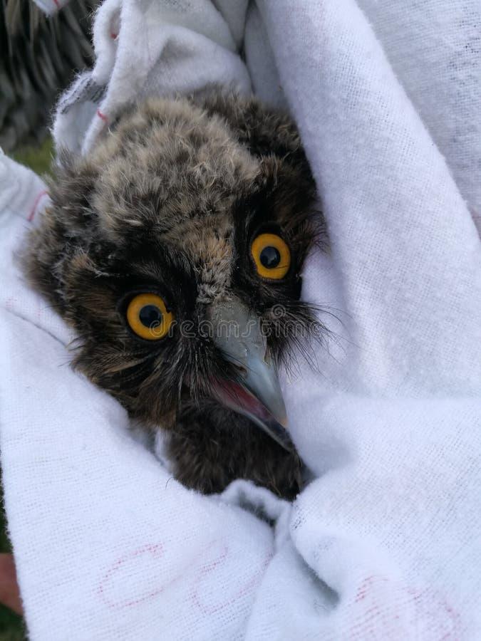 Sowy kurczątko znajdujący w parku w Bucharest tawny sowy europejskim owlbird z dużymi oczami umieszczał zdjęcie royalty free