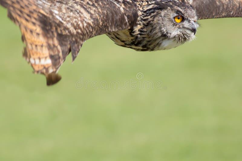 Sowy latanie Ptak zdobycza sztandaru lub plakata wizerunek z kopii przestrzenią obraz stock