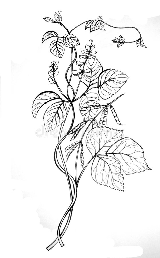 Soy bean drawing. Soy, bean, drawing, black and white royalty free illustration