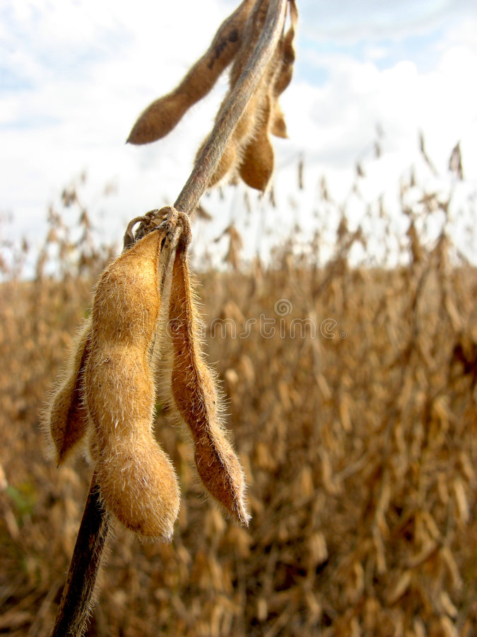 Download Soy bean field stock image. Image of argentina, bean, farming - 8727041