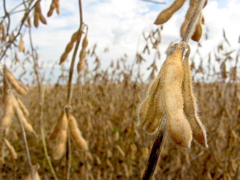 Download Soy bean field stock image. Image of farming, country - 8727097