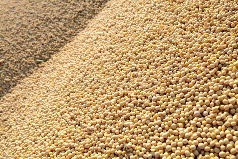 Soy bean harvesting royalty free stock photo
