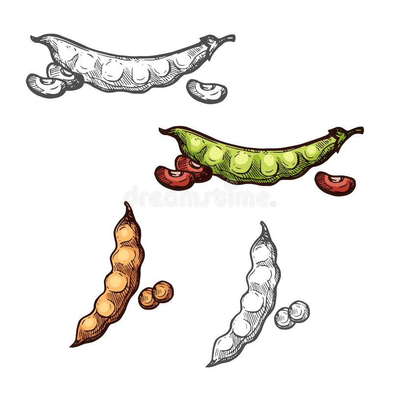 Soy and bean pod vegetable sketch of legume crops. Soy and common bean vegetable sketch of legume crops. Green and brown pods of bean and soybean with fresh seed vector illustration