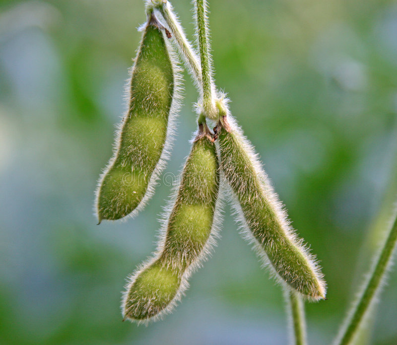 Soy bean pods stock images