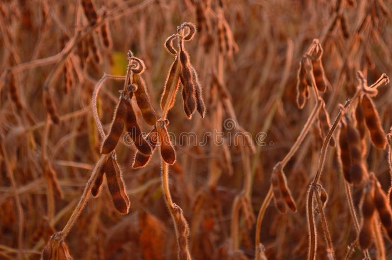 soy beans royalty free stock image