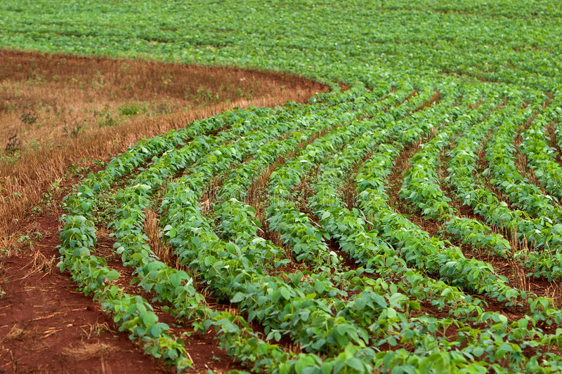 Soy Field. In the agricultural area of Londrina, in the state of Parana, Brazil