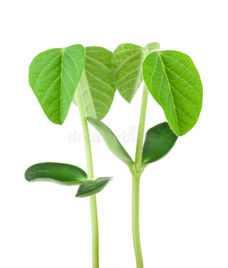 Soy plant royalty free stock photography