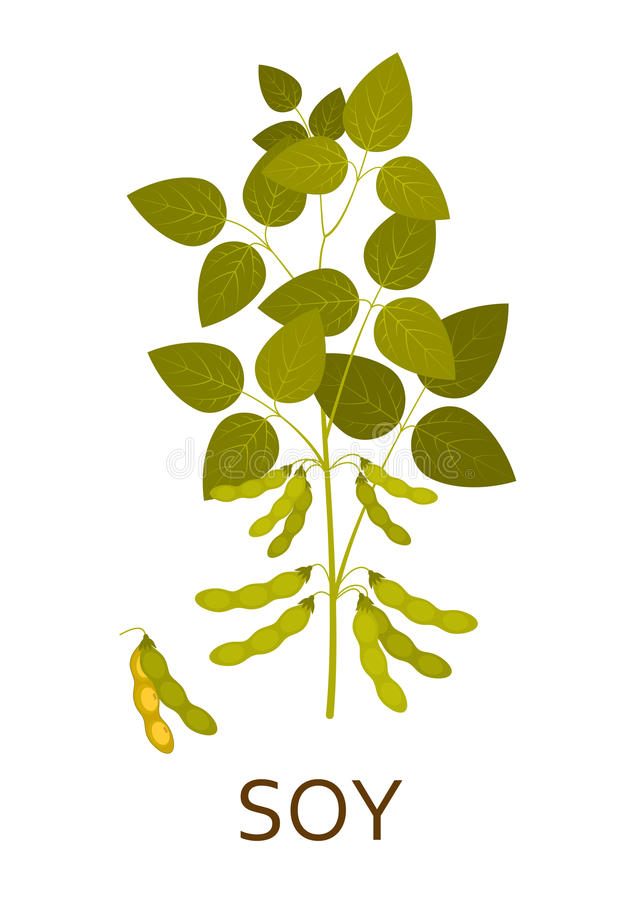 Soy plant with leaves and pods. Vector illustration stock illustration